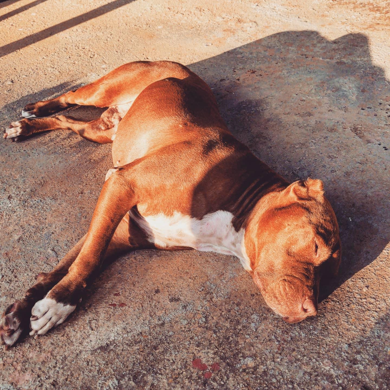Dopo una giornata di #cammino a #Roma, una giornata di #mare, #un lavaggio con #canna dell'#acqua e #bagnoschiuma ecco un #cane distrutto!#vinny #vinnythedog #vincent #vincentvandog #pitbull #caneferoce